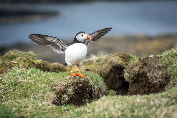 Atlantic puffin spreading its wings on the Scottish island of Lunga, Isle of Mull, Scotland Atlantic puffin spreading its wings on the Scottish island of Lunga, Monday 9 April 2018, Isle of Mull, Scotland auk stock pictures, royalty-free photos & images