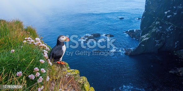 Atlantic puffin, fratercula arctica, standing on cliff in summertime. Panorami horizontal composition of colorful seabird observing on mountainside near to sea. Wild aquatic animal looking to the blue ocean.