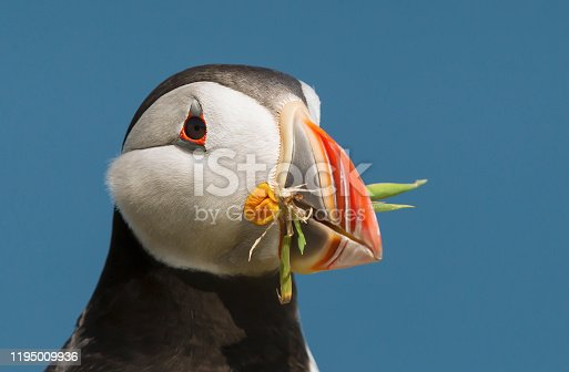 Close-up of Atlantic puffin with nesting material in the beak, Fair isle, Scotland, UK.