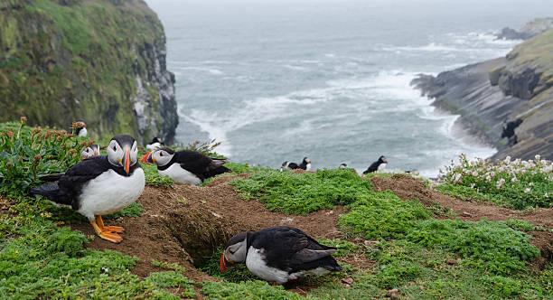 Atlantic Papageientaucher in die burrow – Foto