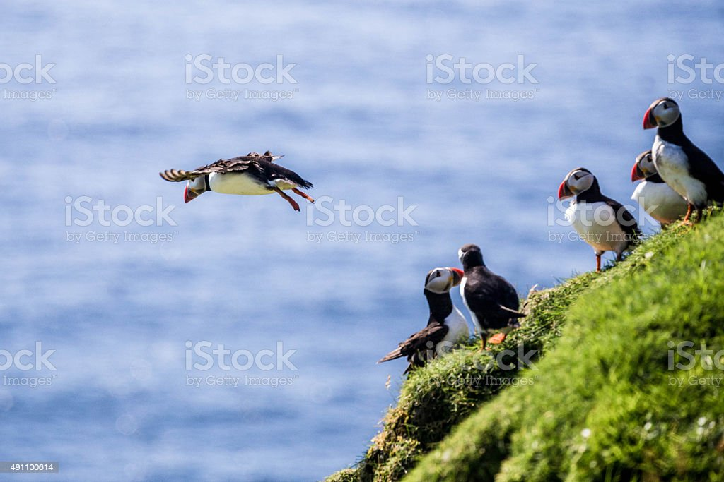 Atlantic Puffins on cliffs stock photo