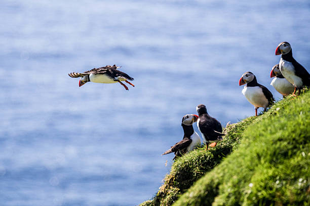 Atlantic Puffins on cliffs Atlantic Puffins on cliffs auk stock pictures, royalty-free photos & images