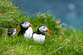 Atlantic Puffins (Fratercula arctica) on Mykines, Faroe Islands. Denmark. Europe