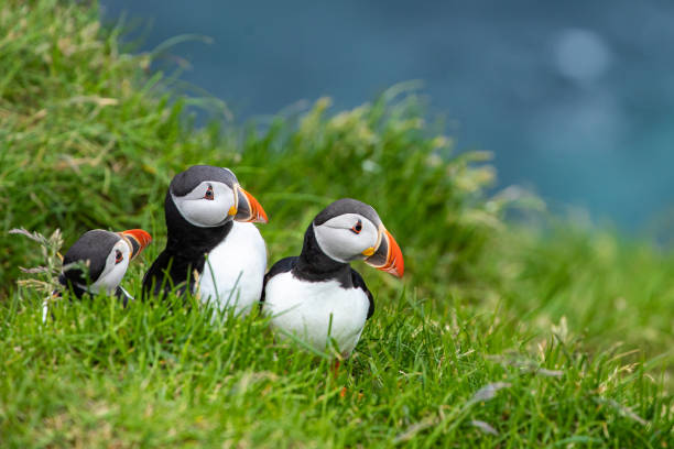 Atlantic Puffins (Fratercula arctica) on Mykines, Faroe Islands. Denmark. Europe Atlantic Puffins (Fratercula arctica) on Mykines, Faroe Islands. Denmark. Europe auk stock pictures, royalty-free photos & images