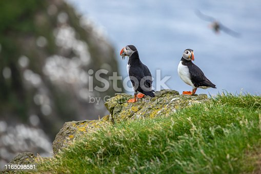 istock Atlantic Puffins (Fratercula arctica) on Mykines, Faroe Islands. Denmark. Europe 1165098581
