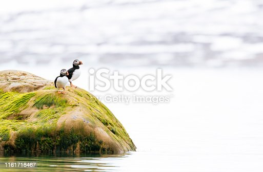 Atlantic puffins (Fratercula arctica) standing on an algae covered rock in the arctic ocean off the coast of Spitsbergen island