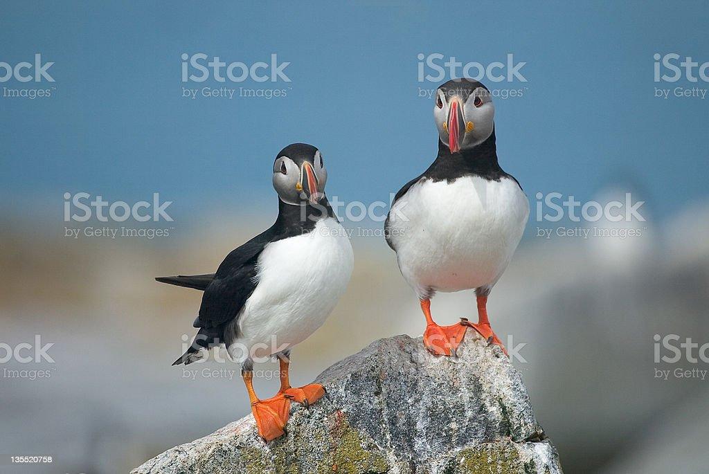 Atlantic Puffins - Royalty-free Cute Stock Photo