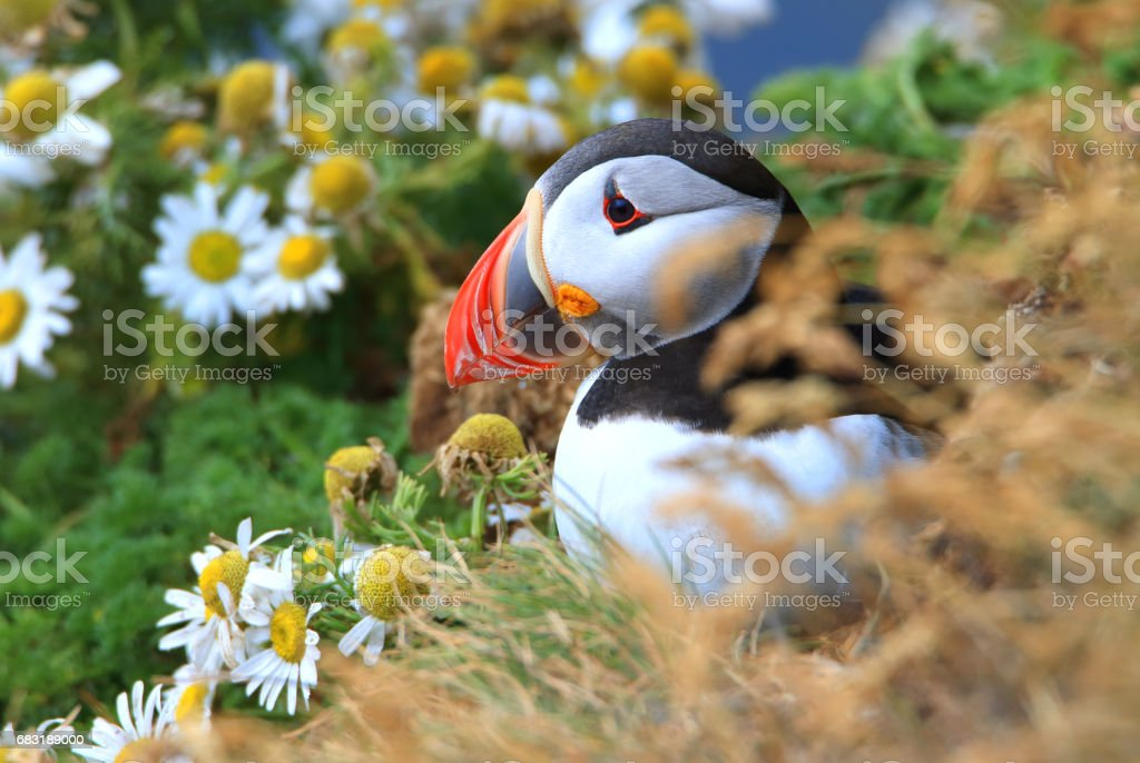 Atlantic Puffins royalty-free 스톡 사진