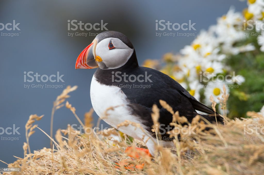 大西洋海雀 免版稅 stock photo