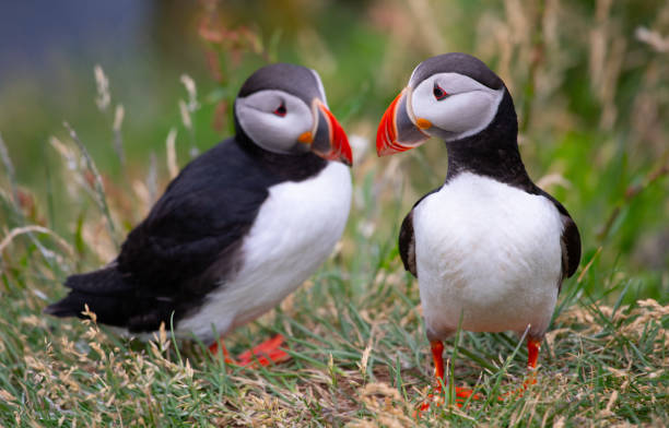 Atlantic Puffins Beautiful vibrant picture of Atlantic Puffins on Latrabjarg cliffs auk stock pictures, royalty-free photos & images