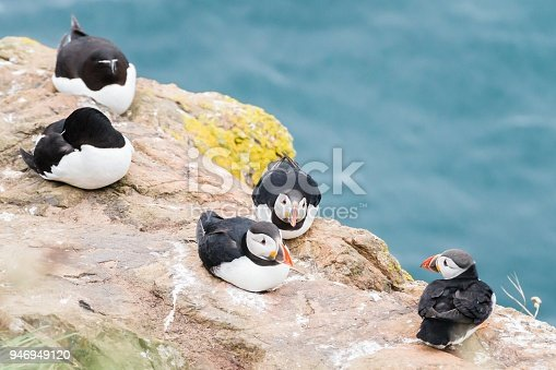 Atlantic Puffins standing on the cliffs of Skomer Island Pembrokeshire West Wales UK.