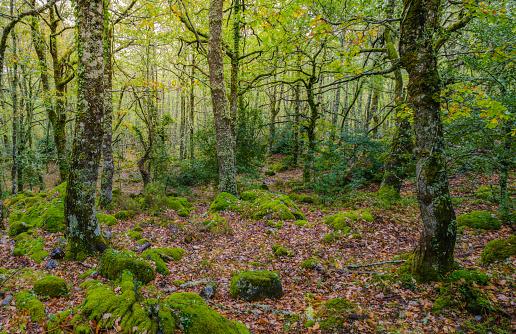 Atlantic rainforest of oaks in Ancares