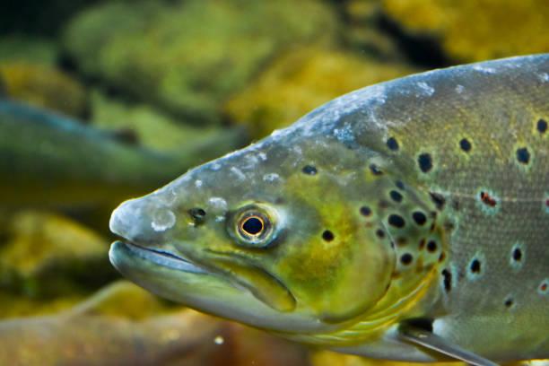 Atlantic salmon (Salmo salar) in aquarium. Fich in Zoo. atlantic salmon stock pictures, royalty-free photos & images