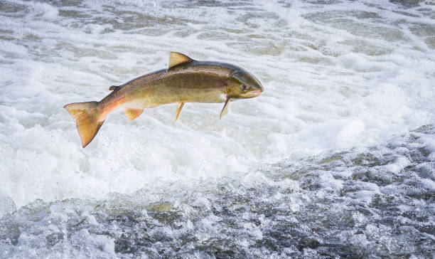Atlantic salmon jumping out of the water An Atlantic salmon (Salmo salar) jumps out of the water at the Shrewsbury Weir on the River Severn in an attempt to move upstream to spawn. Shropshire, England. salmonidae stock pictures, royalty-free photos & images