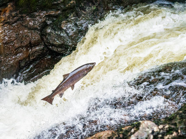 Atlantic Salmon leaping up a waterfall in Scotland A large Atlantic Salmon jumping up a waterfall on a river in Perthshire, trying to reach its spawning grounds. atlantic salmon stock pictures, royalty-free photos & images