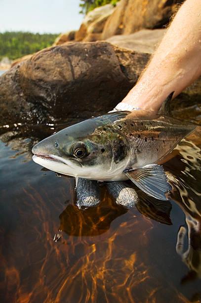 Atlantic Salmon stock photo