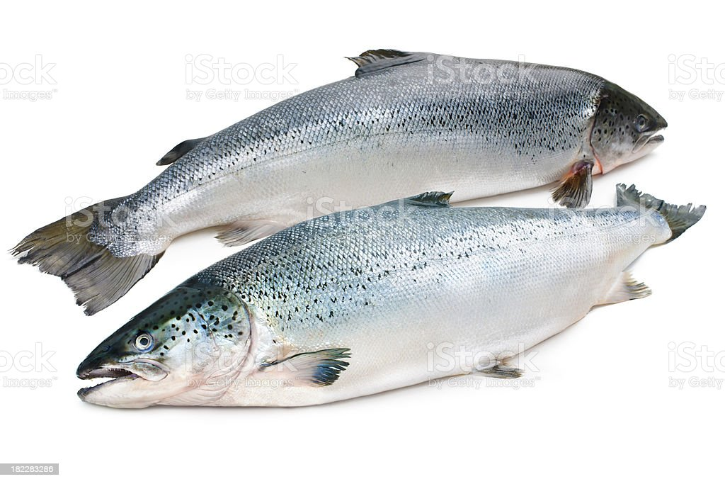 Atlantic salmon royalty-free stock photo