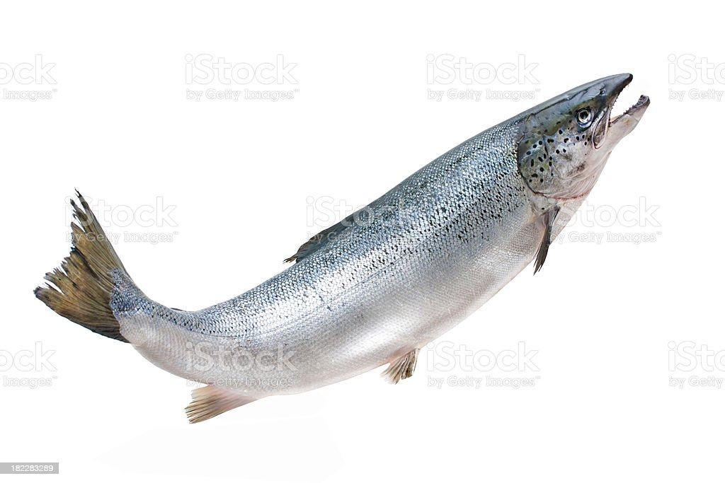 Atlantic salmon stock photo