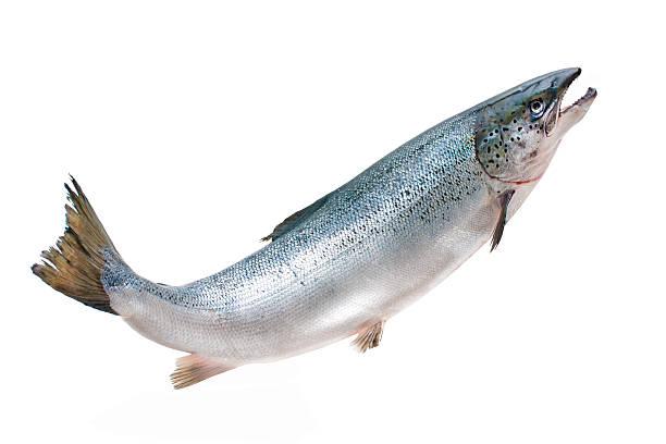 Atlantic salmon Salmo salar. Atlantic salmon on the white background salmonidae stock pictures, royalty-free photos & images