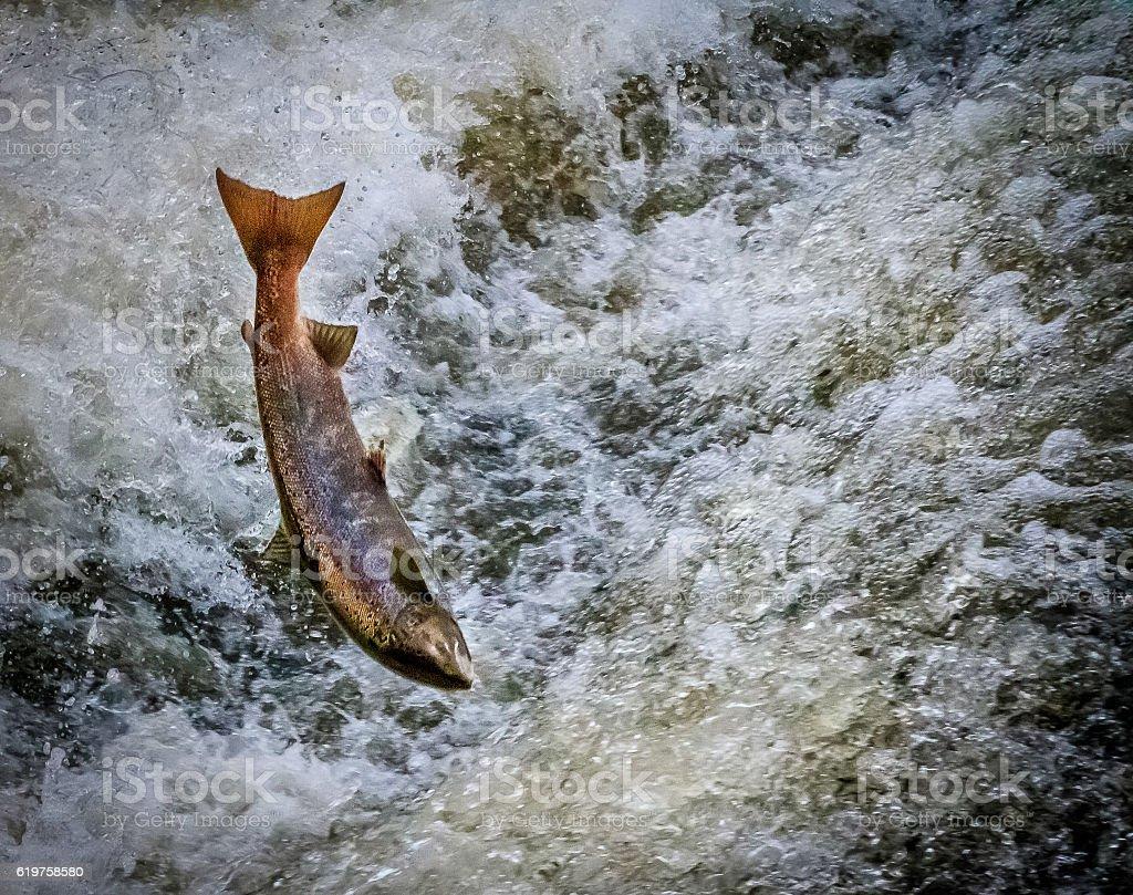 Atlantic salmon. stock photo