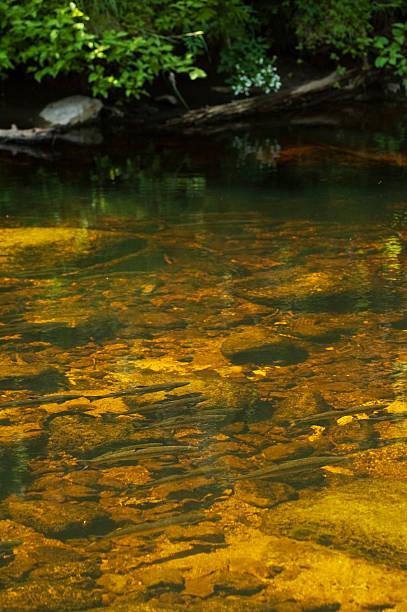 Atlantic Salmon Swimming stock photo
