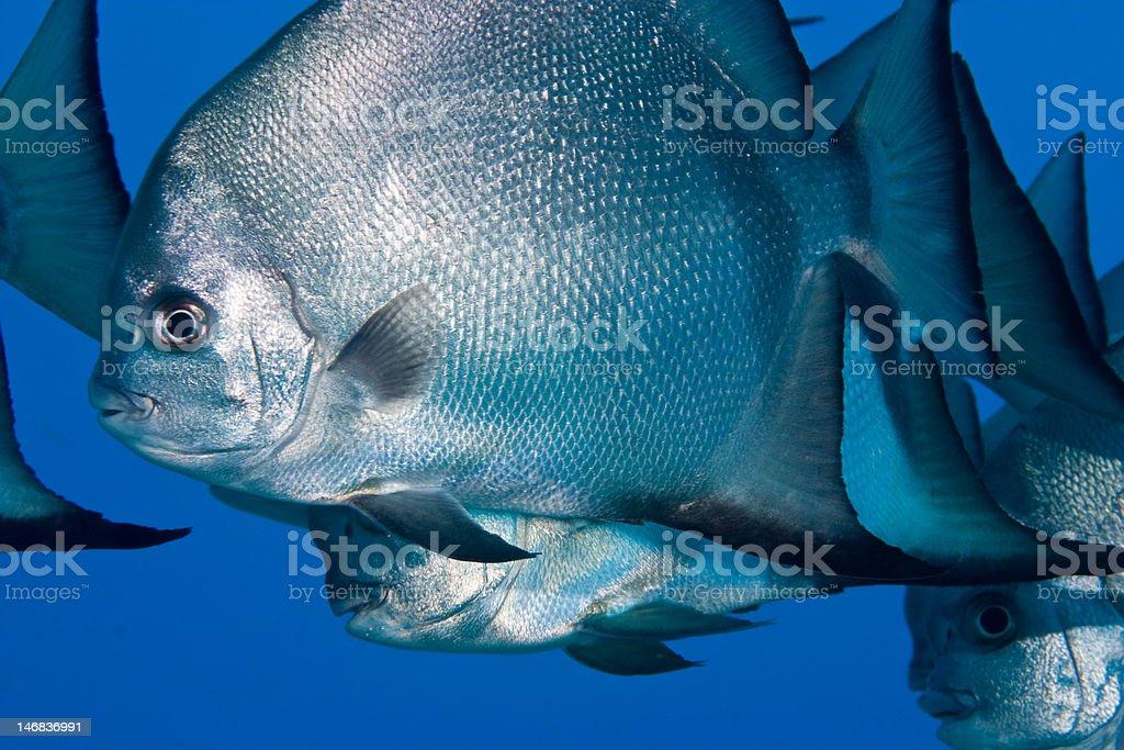Atlantic Spadefish royalty-free stock photo