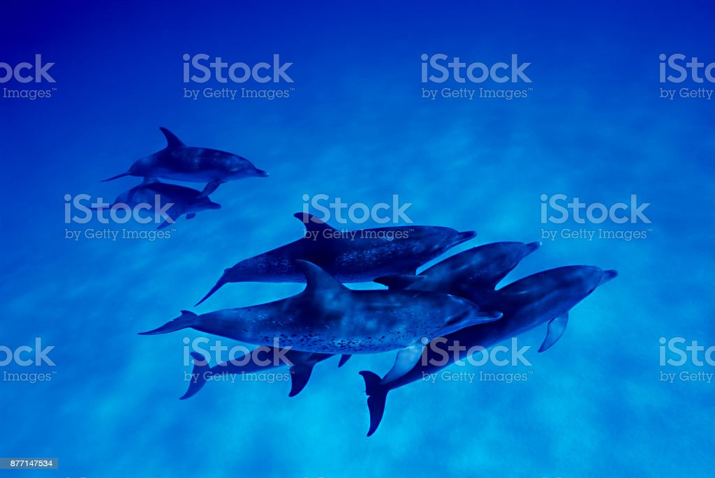 Atlantic spotted dolphin (Stenella frontalis), Bahamas stock photo