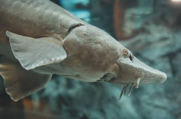 Atlantic sturgeon. Acipenser oxyrinchus oxyrinchus. stock photo