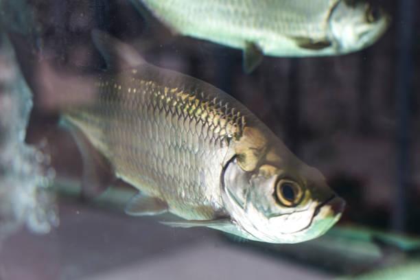 Atlantic tarpon (Megalops atlanticus). Tarpon Fish Up-Close stock photo