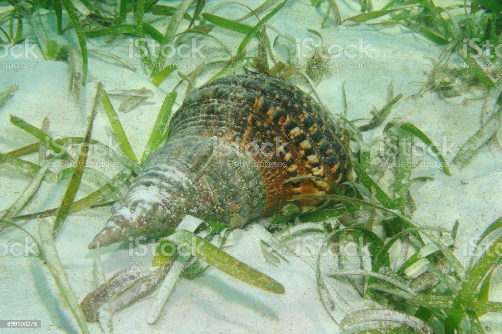 Atlantic triton trumpet shell Charonia variegata stock photo