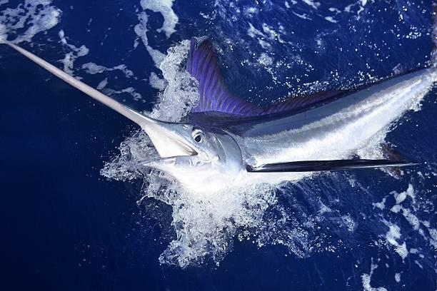 atlantic white marlin big game sportfischen - große waffen stock-fotos und bilder