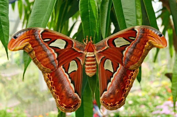 Atlas Moth - Atlas atlas stock photo