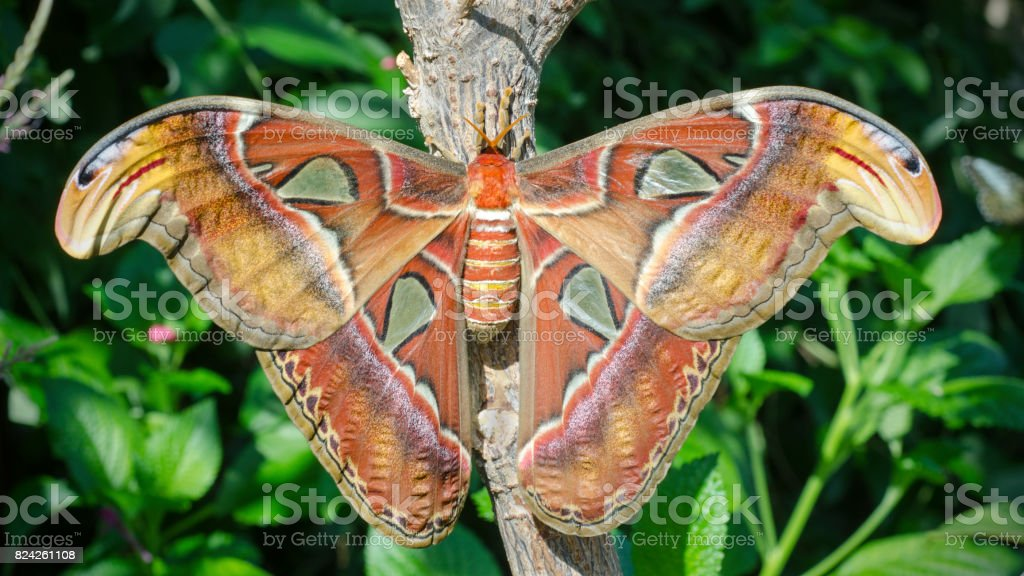 atlas moth, Attacus atlas stock photo