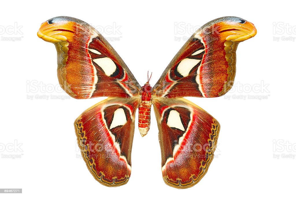Atlas Moth butterfly royalty-free stock photo