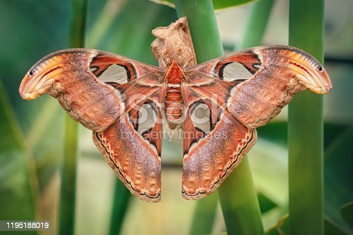 istock Atlas moth butterfly sleeping by day (Attacus atlas). Close 1195188019