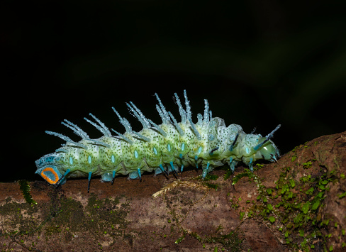 istock Atlas Moth Caterpillar, Goa, india 1185578218