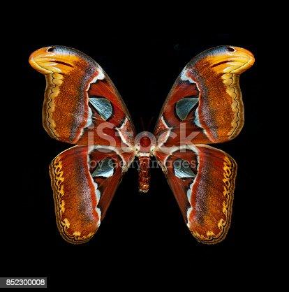 istock Atlas Moth isolated on black 852300008