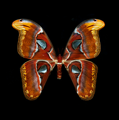 istock Atlas Moth isolated on black 852300008