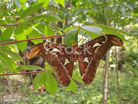 istock Atlas moth 1204336725