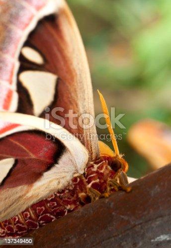istock Atlas Moth 137349450