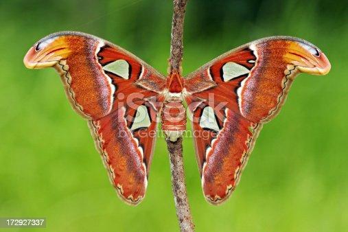 istock Atlas Moth 172927337