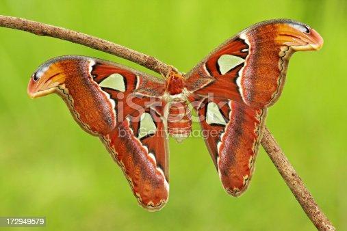 istock Atlas Moth 172949579