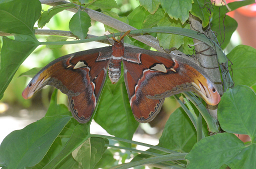 istock Atlas Moth with Wings Spread on a Branch 1146269337