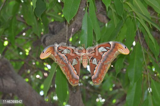 istock Atlas Moth with Wings Spread on a Branch 1146269342