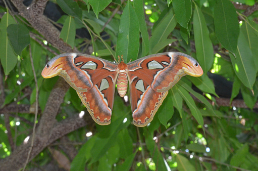istock Atlas Moth with Wings Spread on a Branch 1146269344