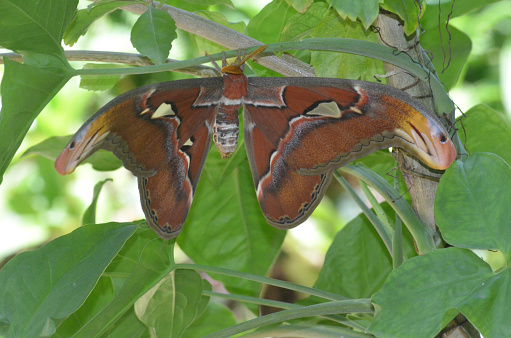 istock Atlas Moth with Wings Spread on a Branch 1146269345