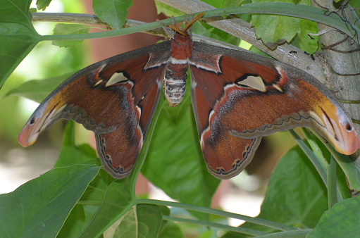 istock Atlas Moth with Wings Spread on a Branch 1146269346