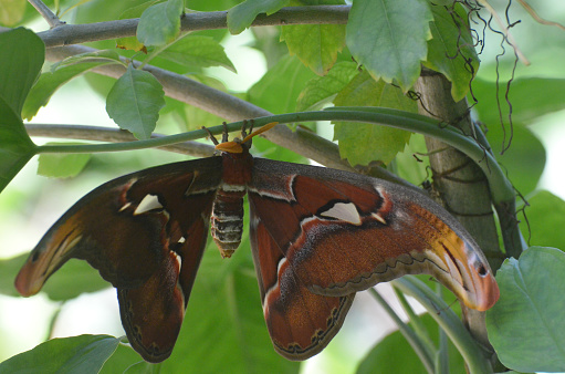 istock Atlas Moth with Wings Spread on a Branch 1146269361