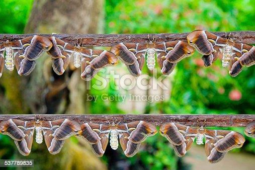 istock Atlas Moths 537789835