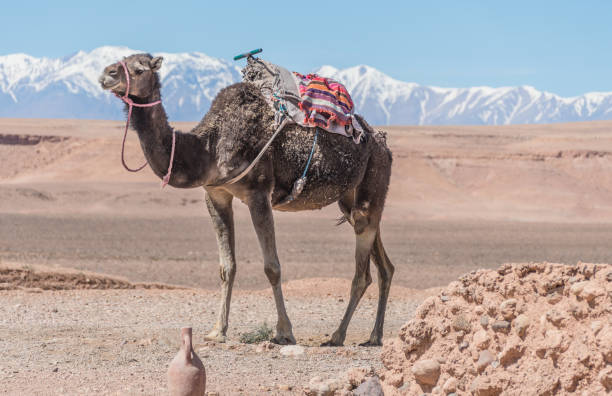 Atlas mountains and a dromedary camel in Western Sahara, Morocco stock photo